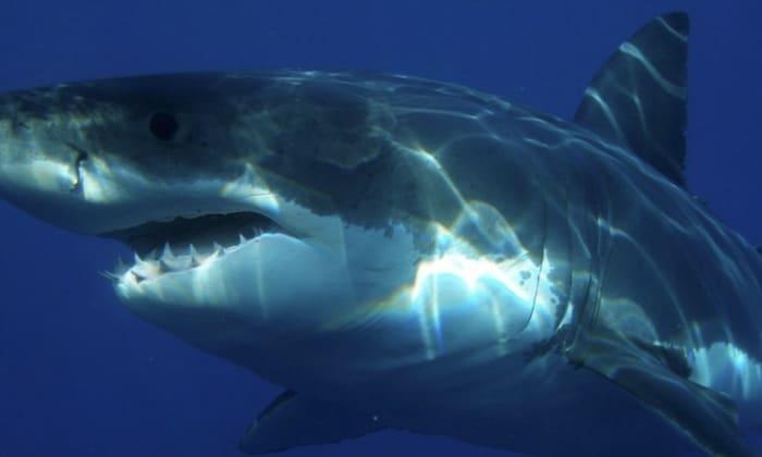 un surfeur attaqué par un requin blanc