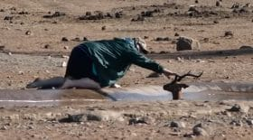 Un homme sauve un impala