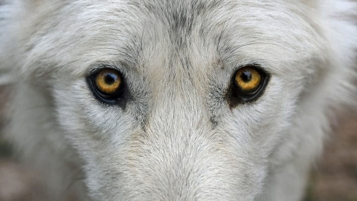 loup blanc-expression-effrayant-connu