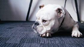 bulldog-anglais-violence-testicules-pénis-garçon