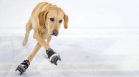 chien patinage patin à glace