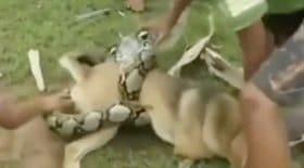 chien python géant