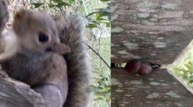 écureuil testicules coincés