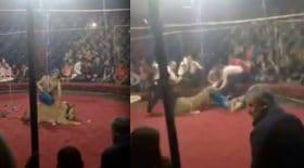 lionne blesse spectatrice cirque