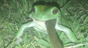grenouille mange un serpent