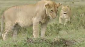Ces lions se font remettre à leur place par un suricate