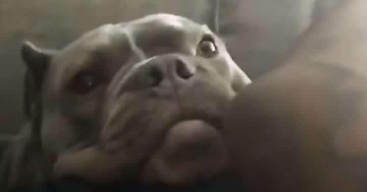 pablo-pitbull-couple-attaque-chien