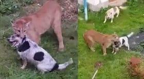 puma attaque un chien