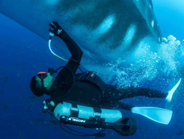 requin-baleine-échographie-chercheurs-médecine-plongeur