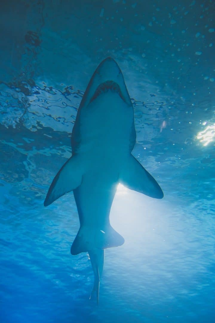 requin-blanc-grand-squale-appât-combat