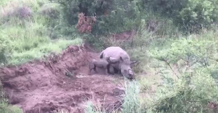 bébé rhinocéros tente de réveiller sa mère morte