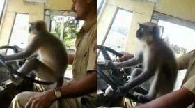 singe sur le volant conduit le bus