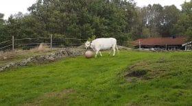 vache joue au football