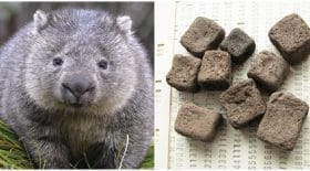 caca-carre-wombat-science