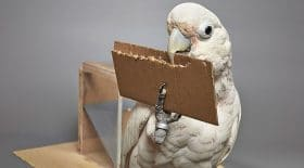cacatoès animaux intelligents fabriquent outils