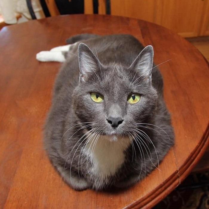 chat-obèse-watson-régime-alimentaire.-heureuxjpg