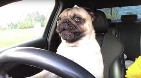 Un chien conduit et s'énerve
