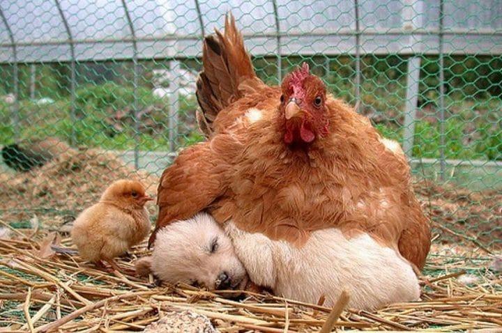 maman poule avec chien
