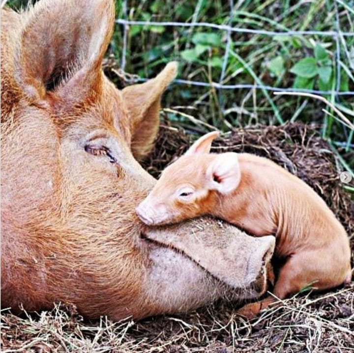 maman cochon