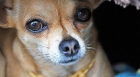 chihuahua-ruthie-chienne-animaux-sauvetage-amour