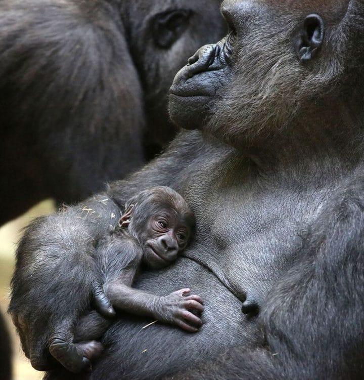 maman gorille