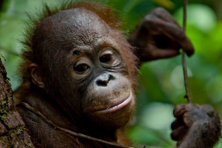 bébé orangs-outants