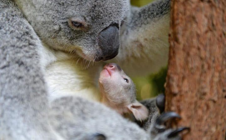 maman koala
