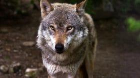 loup-yellowstone-abbatu-chasseur-trophée-légal