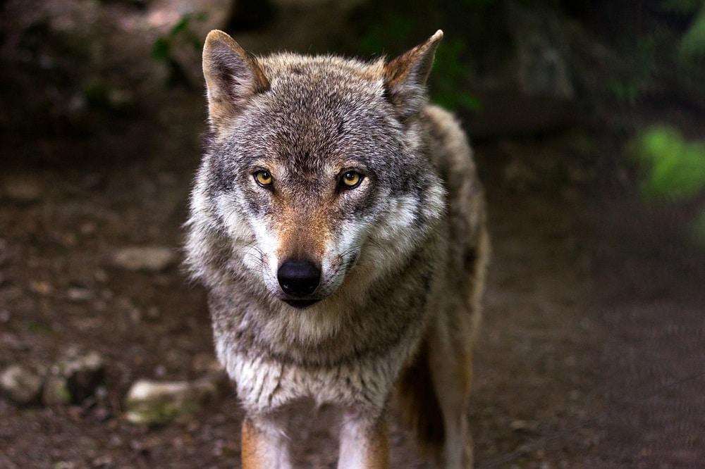 Un célèbre loup du parc de Yellowstone est abattu par un chasseur de trophée