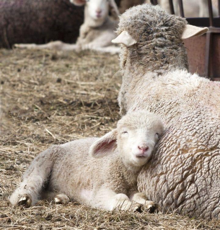 autre maman mouton