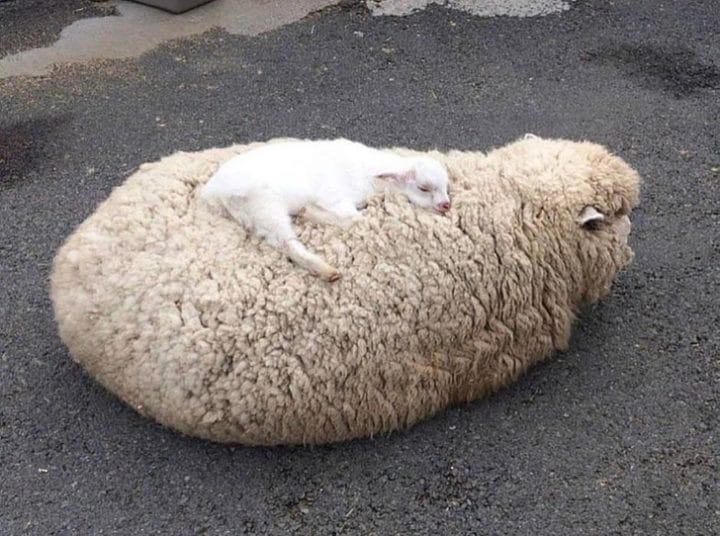 maman mouton