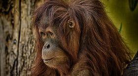 orang outan