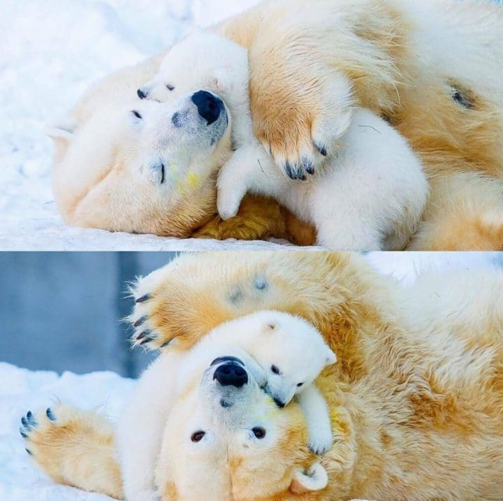 maman ours polaire