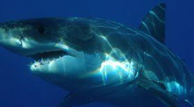 grace-a-une-camera-embarquee-nous-suivons-le-grand-requin-blanc-en-chasse