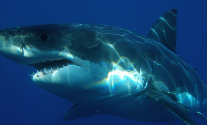 requin-attaque-mangeurs-hommes