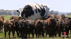 vache boeuf de 2 mètres