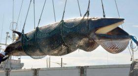 baleine capturée