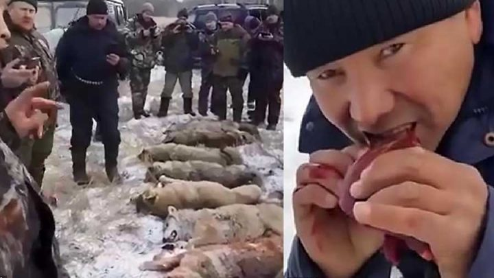 chasseurs mangent coeur loup alpha
