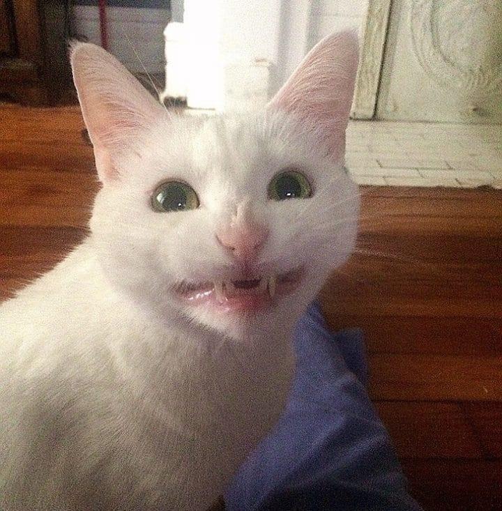 Chat montre les dents