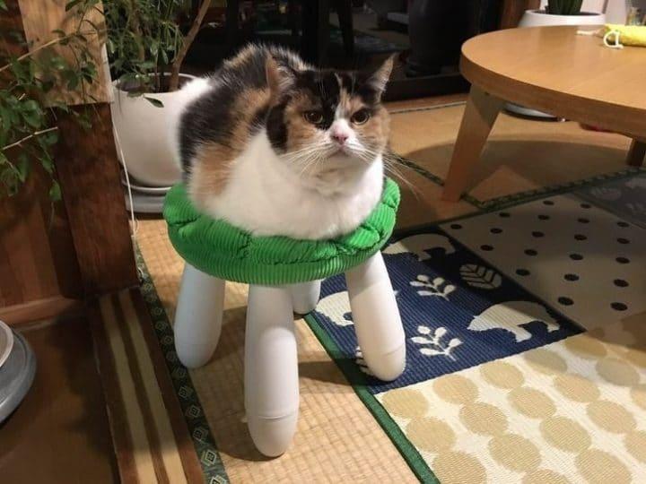 chat siège