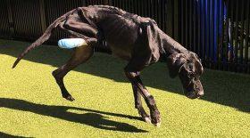 chien affamé mange sa patte pour survivre