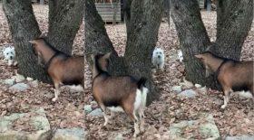 Ce chien est un maître du cache cache