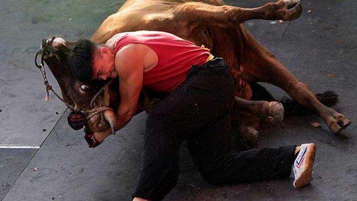 combats de taureaux en chine