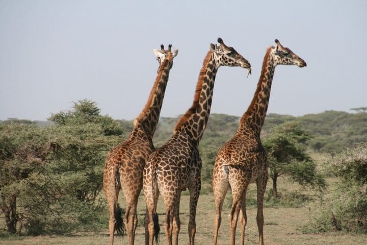 girafe-extinction