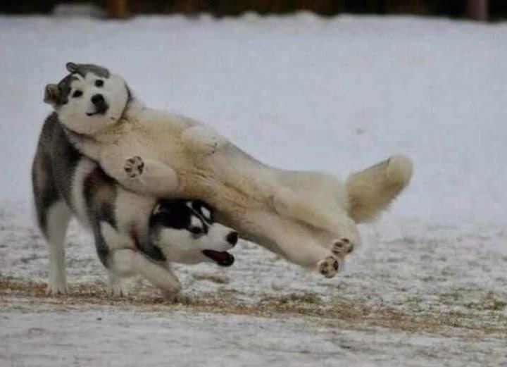 huskies power