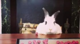 Un lapin trop excité devant son assiette