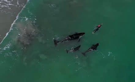 Trois orques nagent avec une nageuse