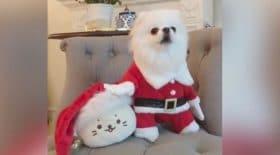 Ce petit chien connait les chants de Noel