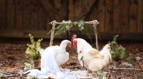 poules se sont mariées
