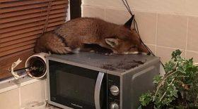 renard dort cuisine micro-ondes